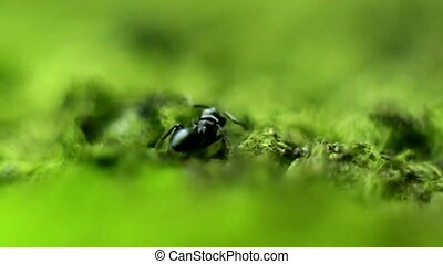 Black Ant running in the grass, closeup, detail, macro