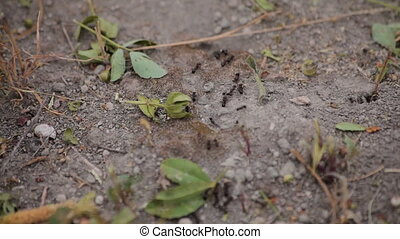 Black ants are running around Videography in the fields of...
