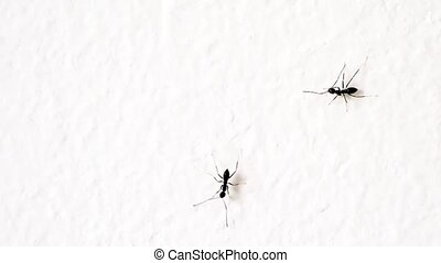 black ants on a white wall
