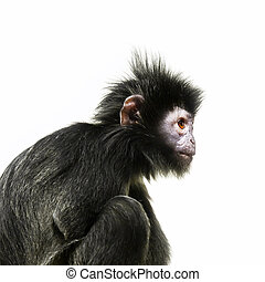 black ape with orange eye - An image of a black ape with...