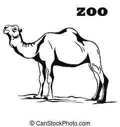 black arabian camel