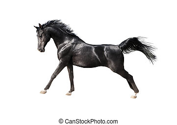 black arabian horse isolated on white