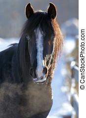 Black Arabian Stallion Head portrait closeup