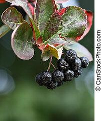 Black ashberry/ Black rowan /Black chokeberry (Aronia...