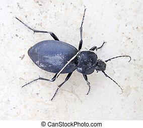 Black asian bug