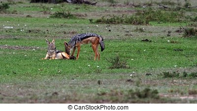 Black Backed Jackal, canis mesomelas, Adult standing on...