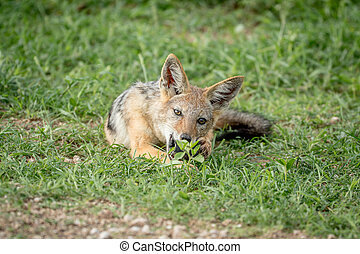 Black-backed jackal chewing on something.