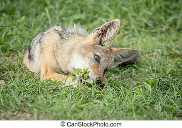 Black-backed jackal chewing on something.