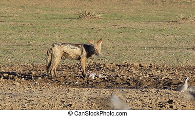 Black-backed Jackal eating dove - A black-backed Jackal...
