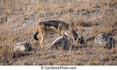 Black-backed Jackal Feeding on Carrion, Etosha National Park, Namibia, Africa