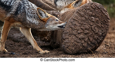 Black Backed Jackal Feeding on Dead Elephant