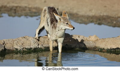 Black-backed jackal - A black-backed Jackal (Canis...