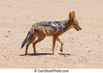 Black-backed jackal in african desert