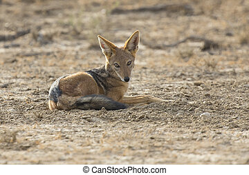 Black Backed Jackal lay down to rest in Kalahari