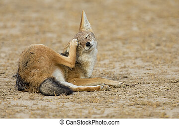 Black Backed Jackal lay down to scratch an itch in the Kalahari