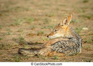 Black-backed jackal laying down.