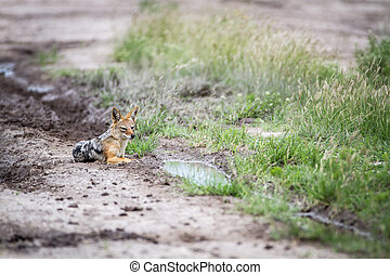 Black-backed jackal laying on the road.