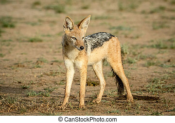 Black-backed jackal looking around.