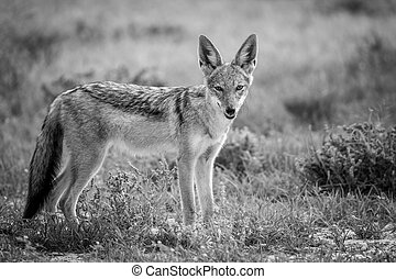 Black-backed jackal looking at the camera.