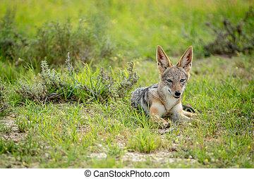 Black-backed jackal looking at the camera.