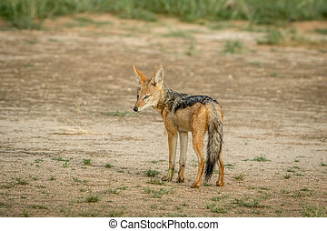 Black-backed jackal looking back.