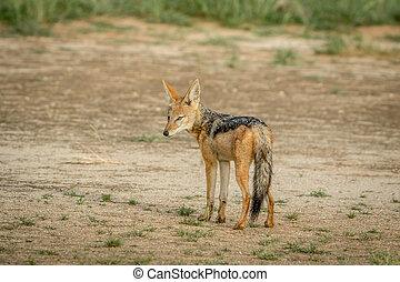 Black-backed jackal looking back.
