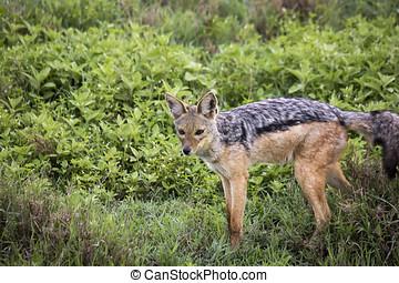 Black backed jackal, Ngorongoro Crater, Tanzania