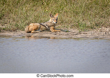 Black-backed jackal resting next to the water.