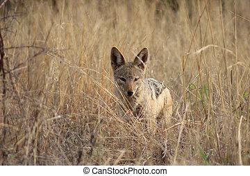 Black backed jackal