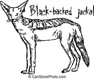 Black-backed jackal - vector illustration sketch hand drawn...