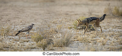Black Backed Jackal walking in the Kalahari looking for food at a Goshawk