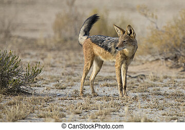 Black Backed Jackal walking in the Kalahari looking for food