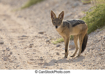 Black Backed Jackal walking in the Kalahari looking for food