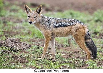 Black backed jackal walking on short grass looking for food
