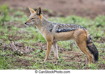 Black backed jackal walking on short grass looking for food