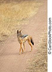 Black-backed jackal walking