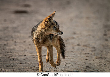 Black-backed jackal walking towards the camera.