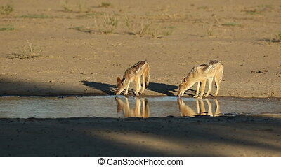 Black-backed jackals drinking - A pair of black-backed...