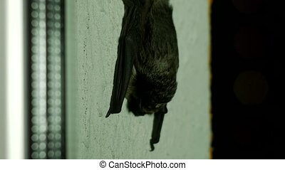Black bat sitting outside the window in the house, close-up,...