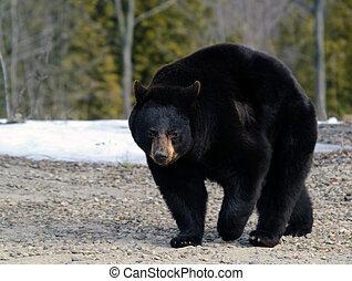 Black bear - A big black bear in early Spring