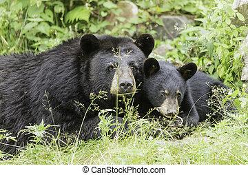 Black bear and cub