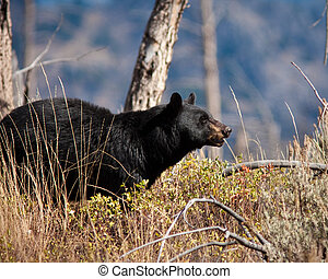 Black Bear - Black bear during fall