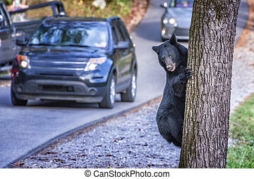 Black Bear Climbing a Tree Next to a Road with Traffic - ...