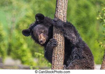 Black Bear climbing a tree on a sunny day