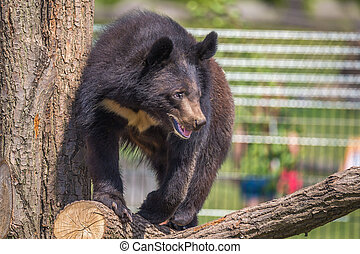 Black Bear climbing a tree on a sunny day in zoo Chleby, Czech Republic