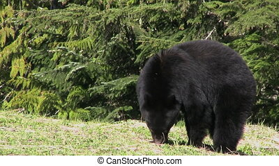 A cute little black bear eats some grass on a cool spring day.