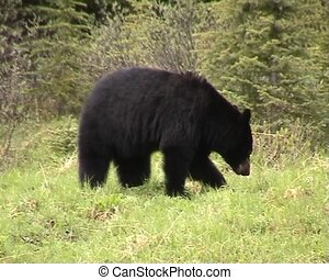 Black bear in Canadian Rocky Mountains searhcing for food