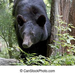 Black Bear foraging in woodland