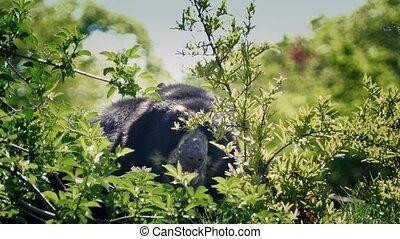Black Bear Grazing In The Bushes - Black bear looks for food...
