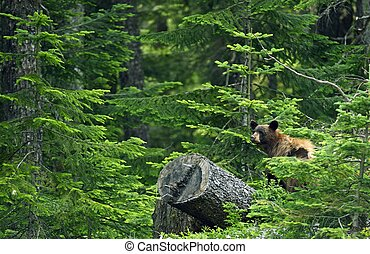 Black Bear in Forest - British Columbia, Canada. Black Bear...